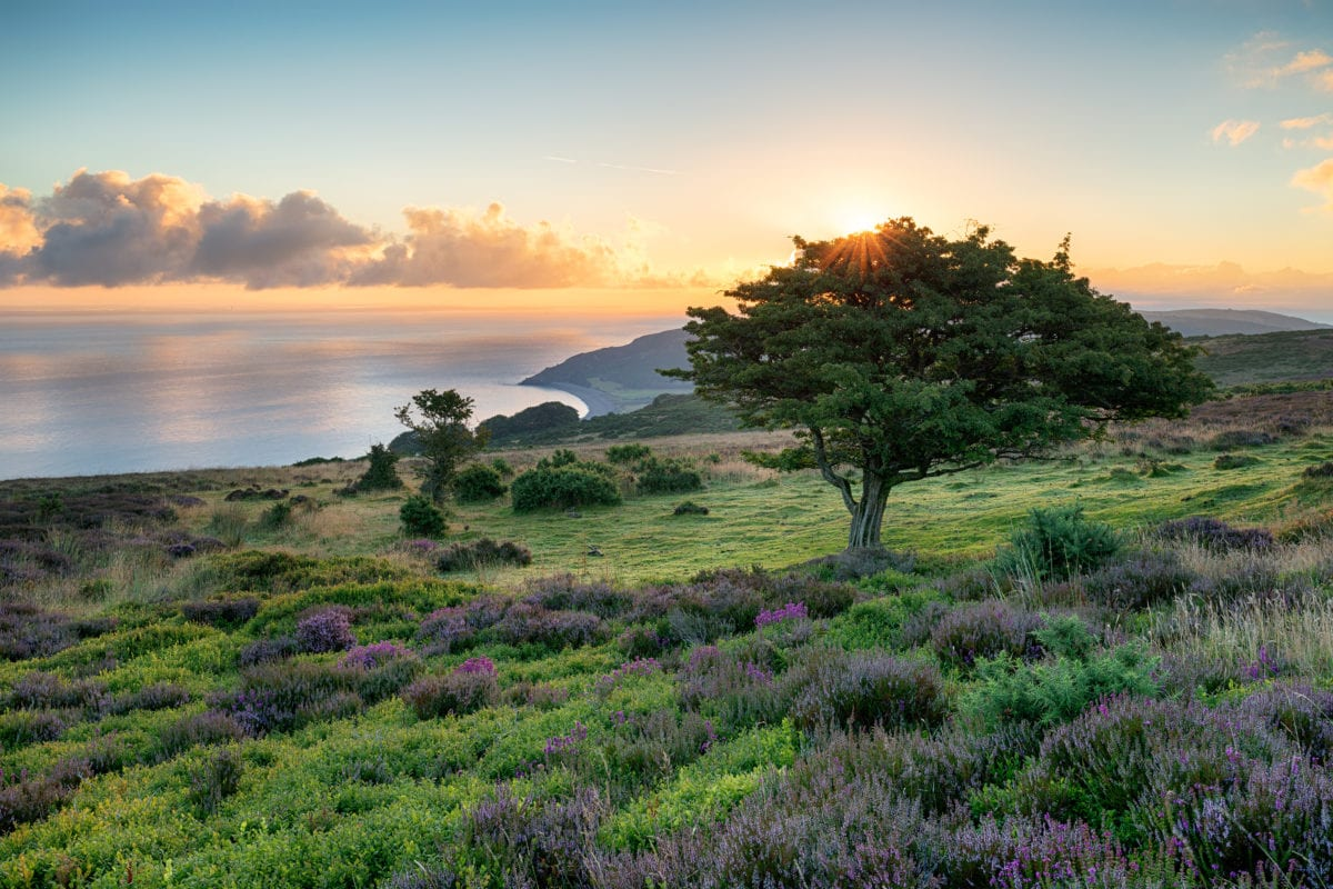 A picture of green land with purple plants, a tree, and a sunset over the sea