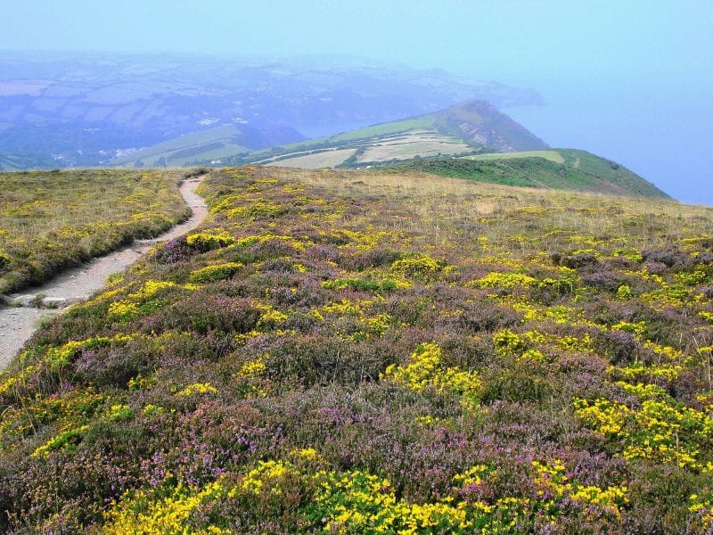 a picture of cliffs with a coastal view, covered in pink and yellow blooms with a pathway running through